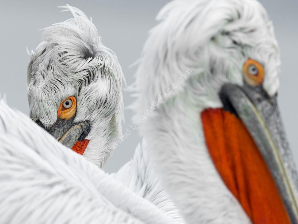 Pelican 13