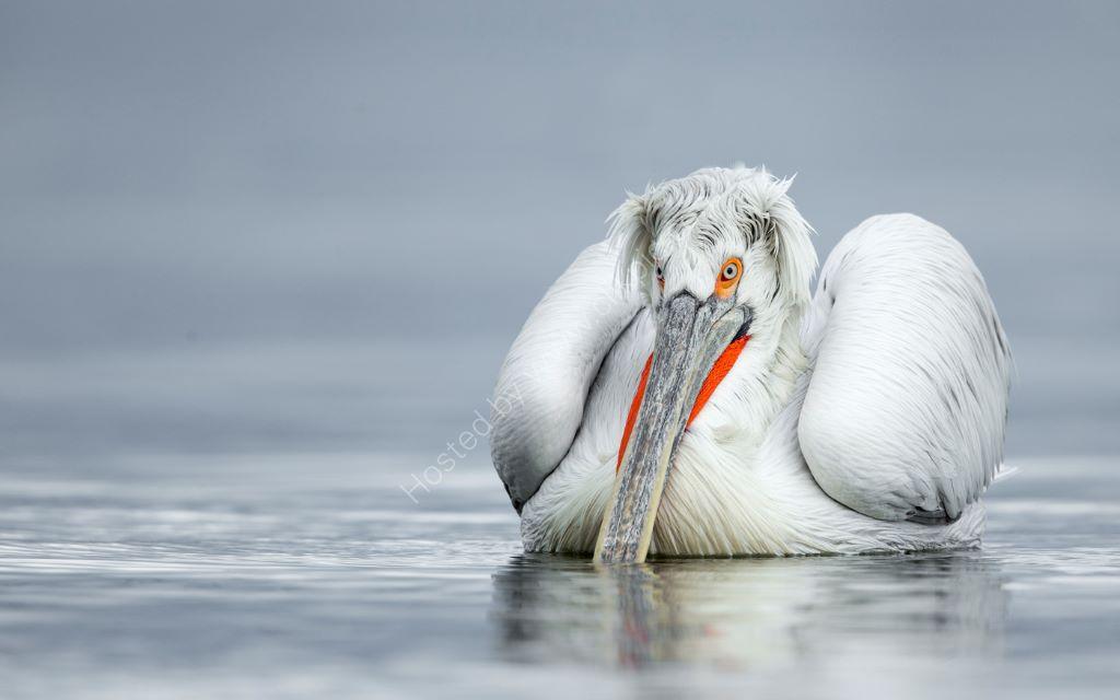 Pelican 14