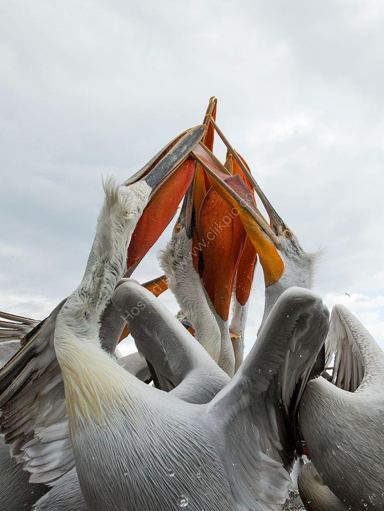 Pelican 16