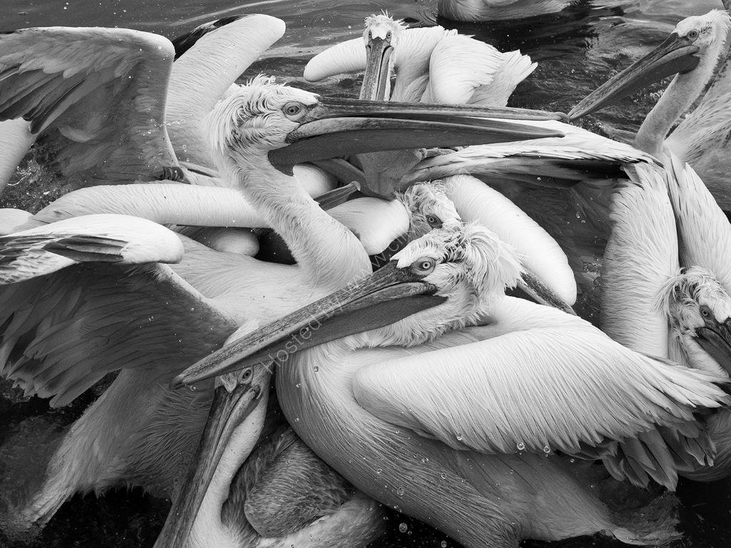 Pelican 17