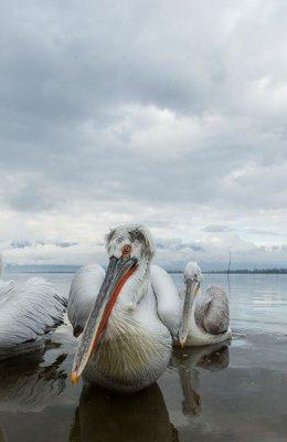 Pelican 18