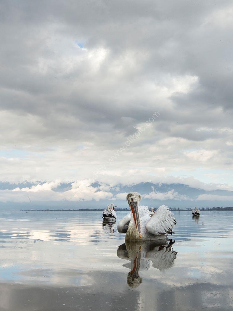 Pelican 19