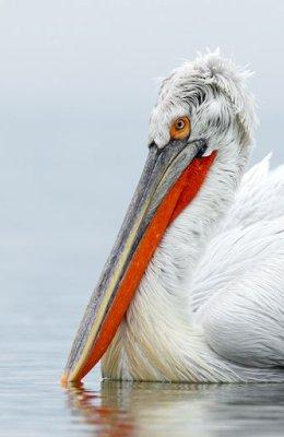 Pelican 21