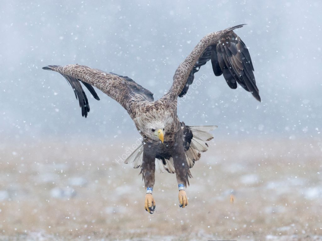 Eagle in Snow