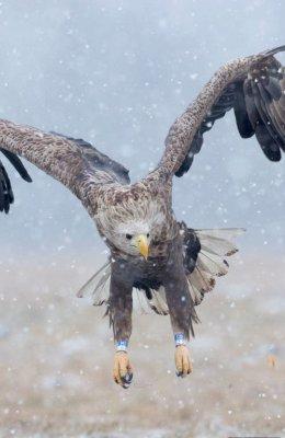 Eagle in snow