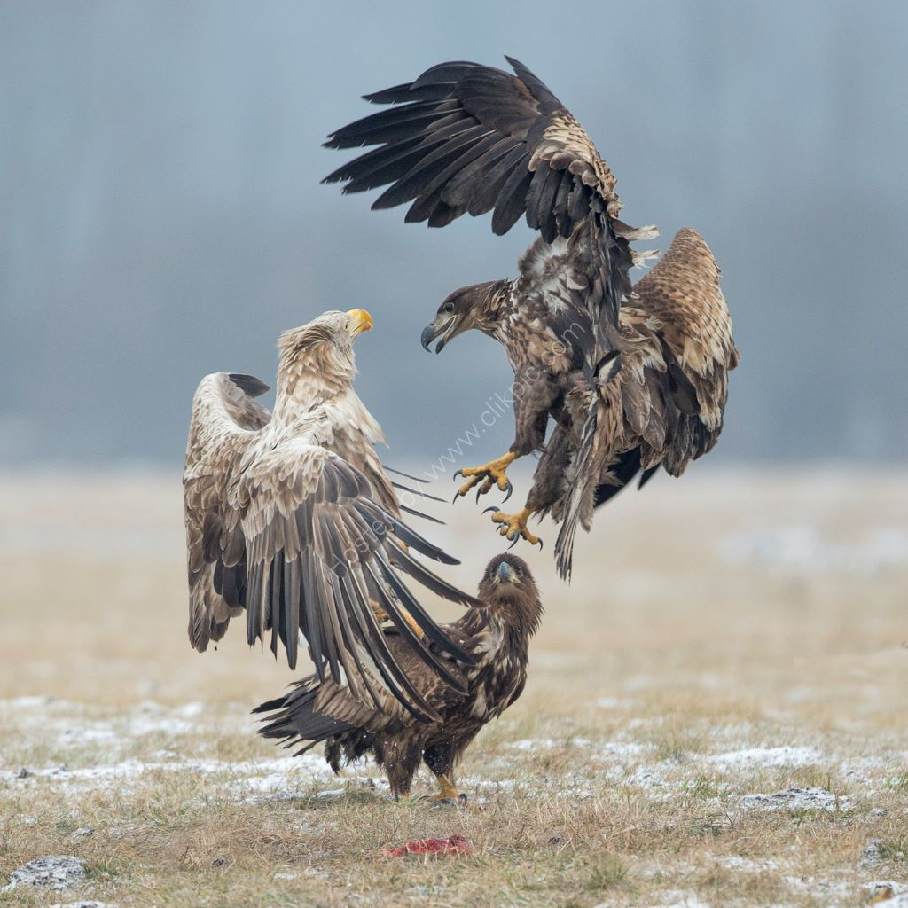 Fighting Eagles 3
