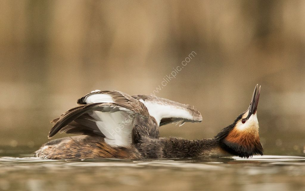 Displaying Grebe