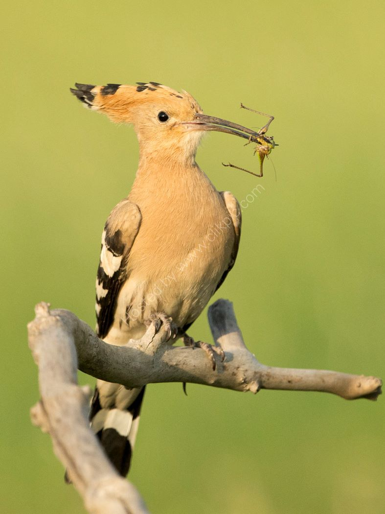 Hoopoe and Grasshopper