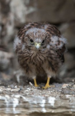 Kestrel chick 5