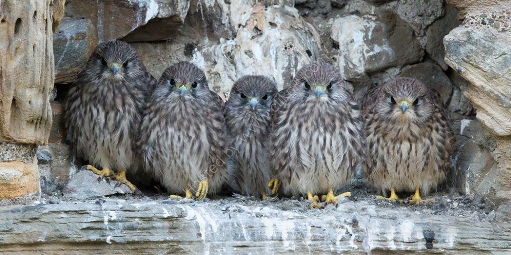 Five Kestrel Chicks