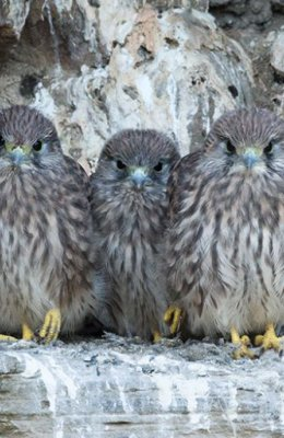 Five Kestrel Chicks