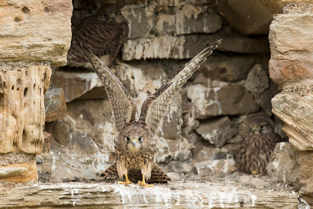 Kestrel Chick 8