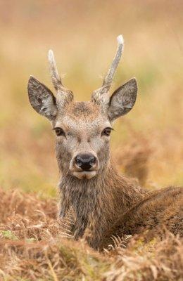 Red Deer Resting 2
