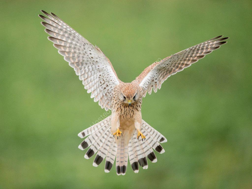 Landing Kestrel