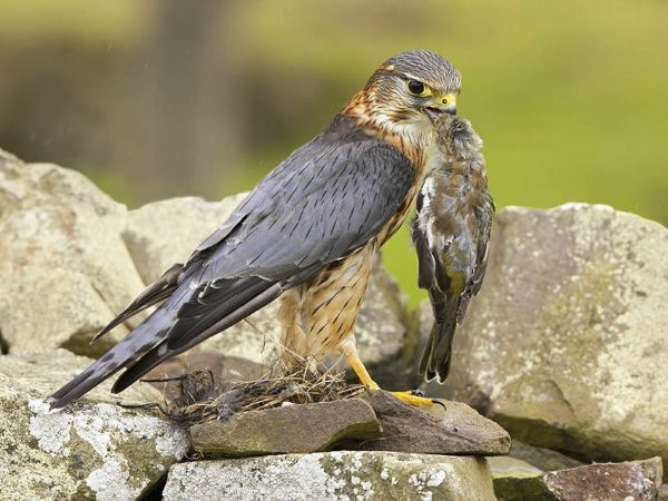 Merlin kills a songbird