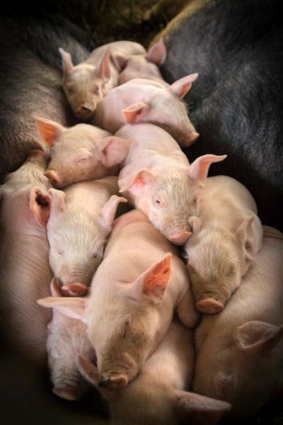 A Pile of Sleeping Pigs