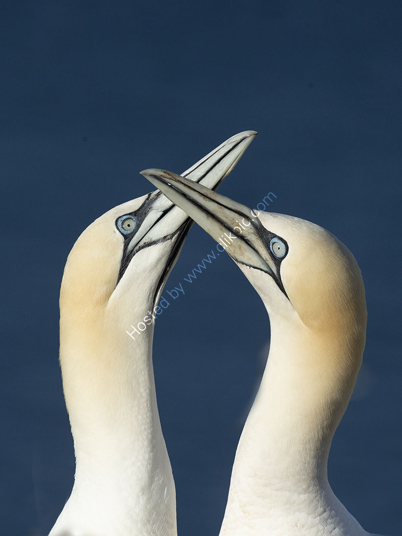 Beaking Gannets