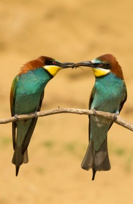 Bee Eater 21