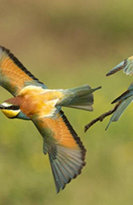 Bee Eater 4