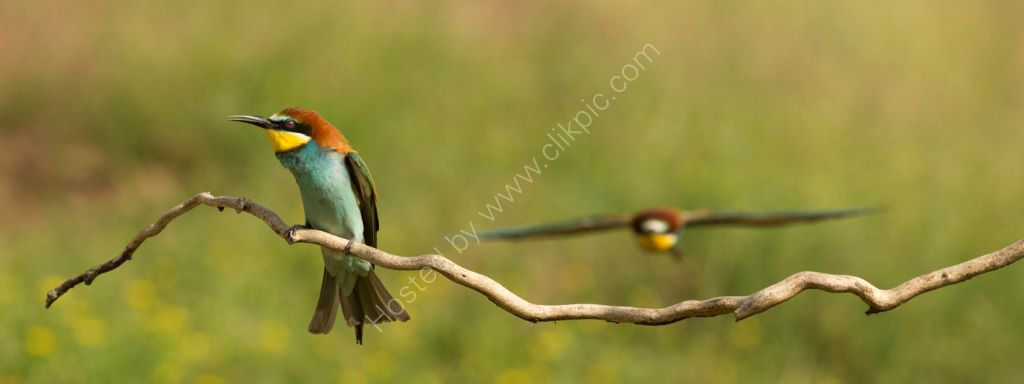 Bee Eater 8