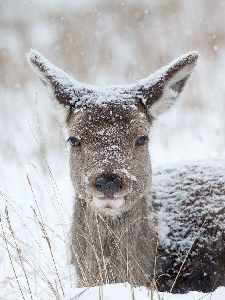 Deer lay in snow
