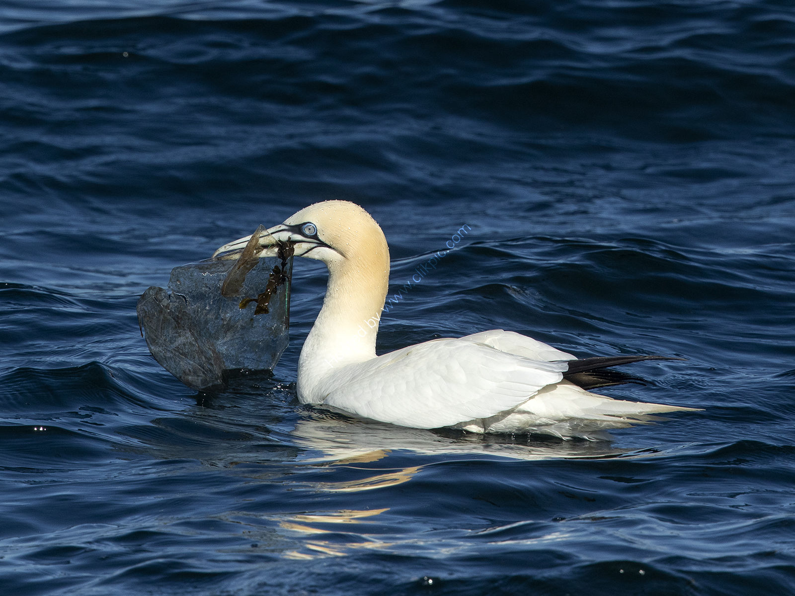 Gannet and Plastic