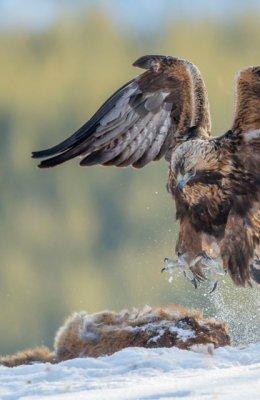 Golden Eagle on Fox