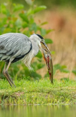Heron Eats Trout