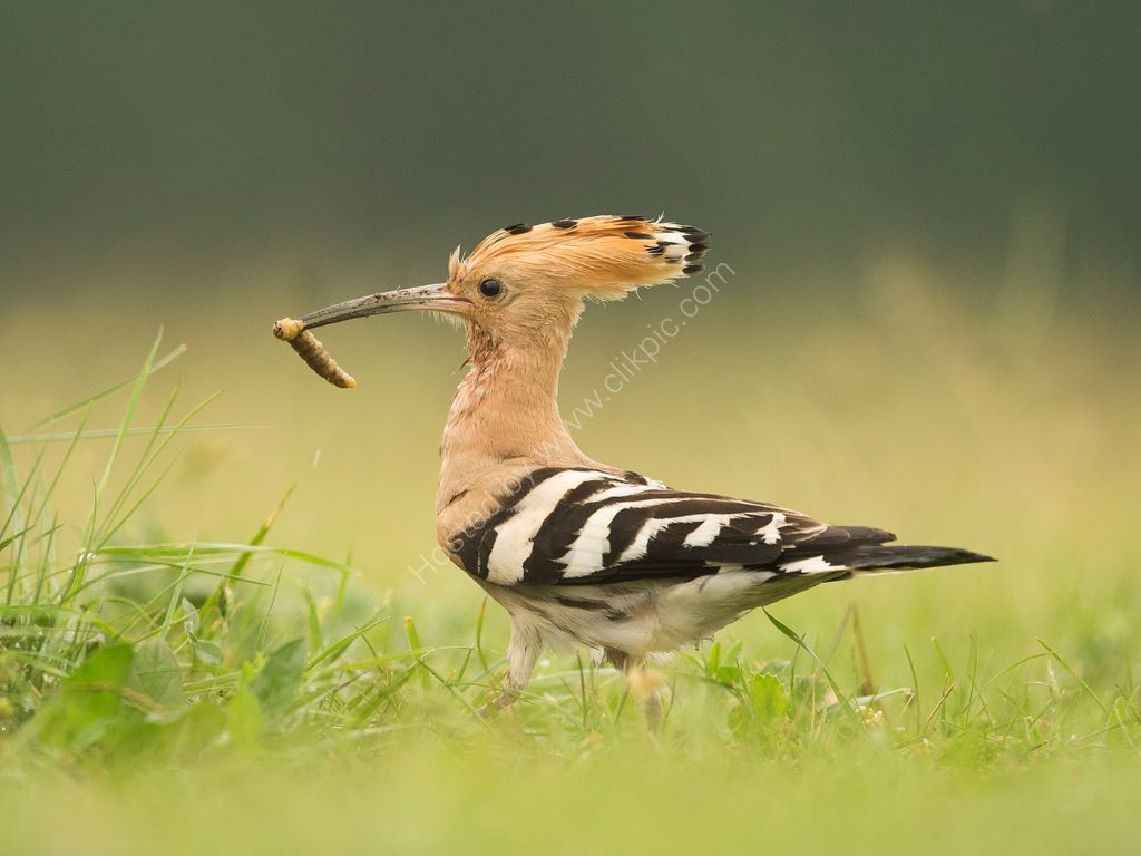Hoopoe and Grub