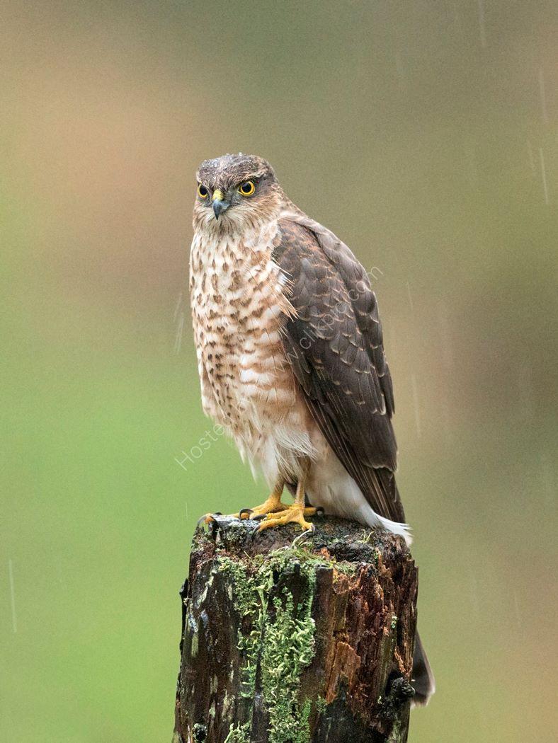 Female Sparrowhawk in Rain