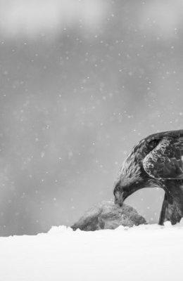 Mono Golden Eagle