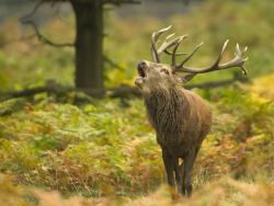 Red Deer Bellows in the Rain