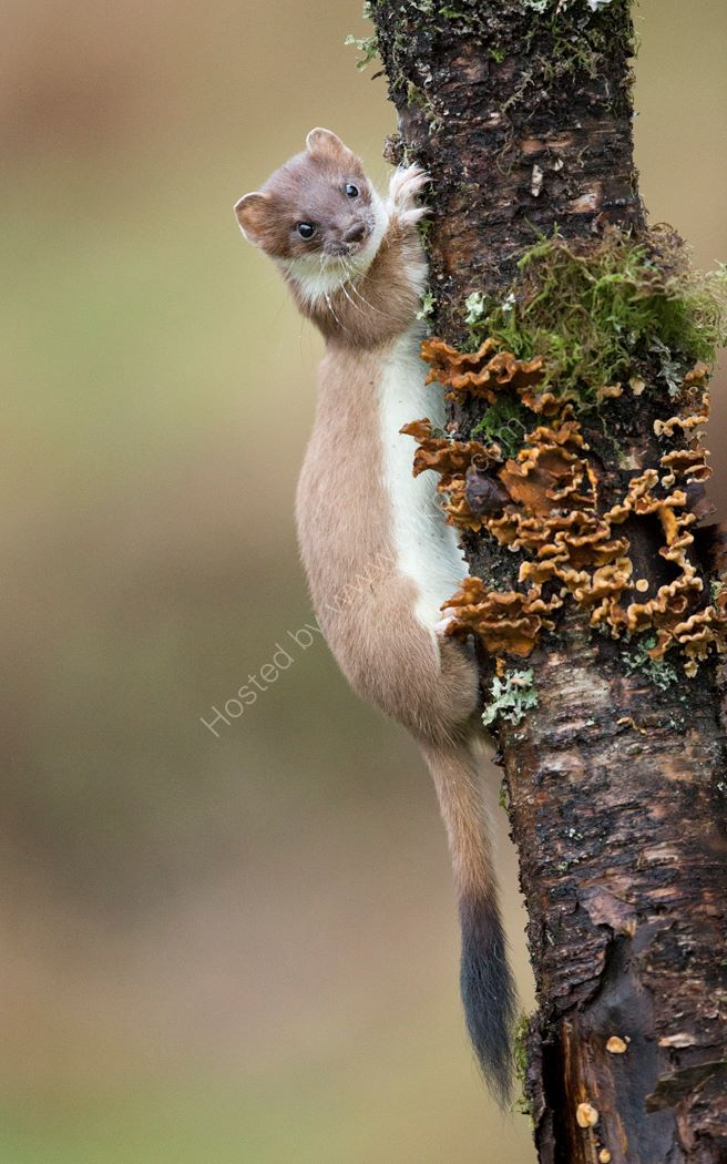Stoat in Tree
