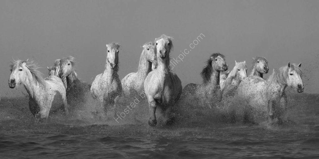 Camargue Horses 13
