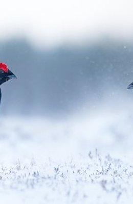 Lekking in snowstorm