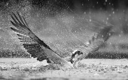 Osprey in Rain