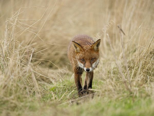 Red Fox Approaches