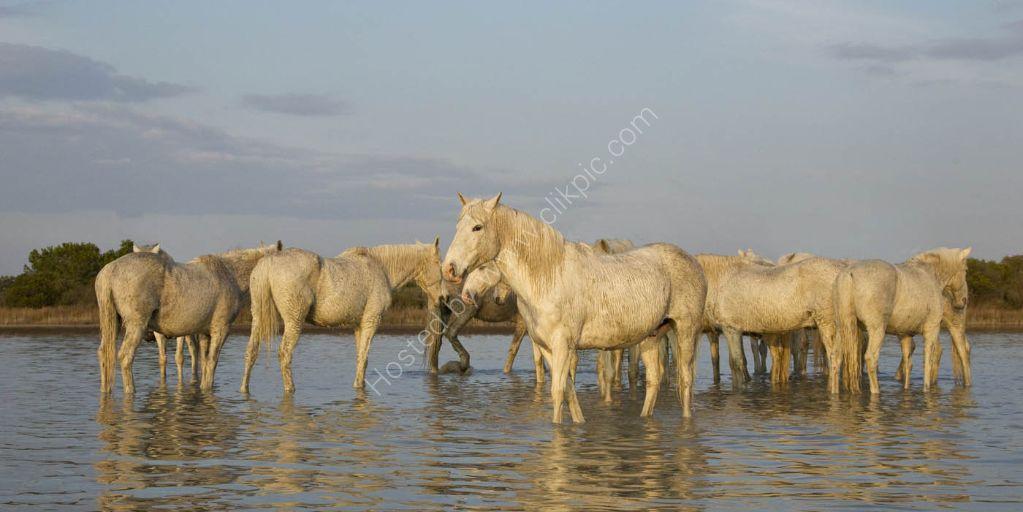 Camargue Horses 5