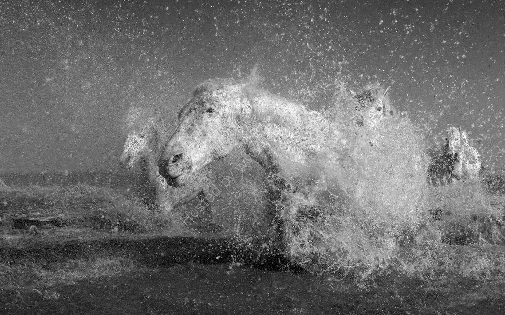 Camargue Horses 6