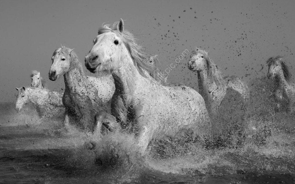 Camargue Horses 8