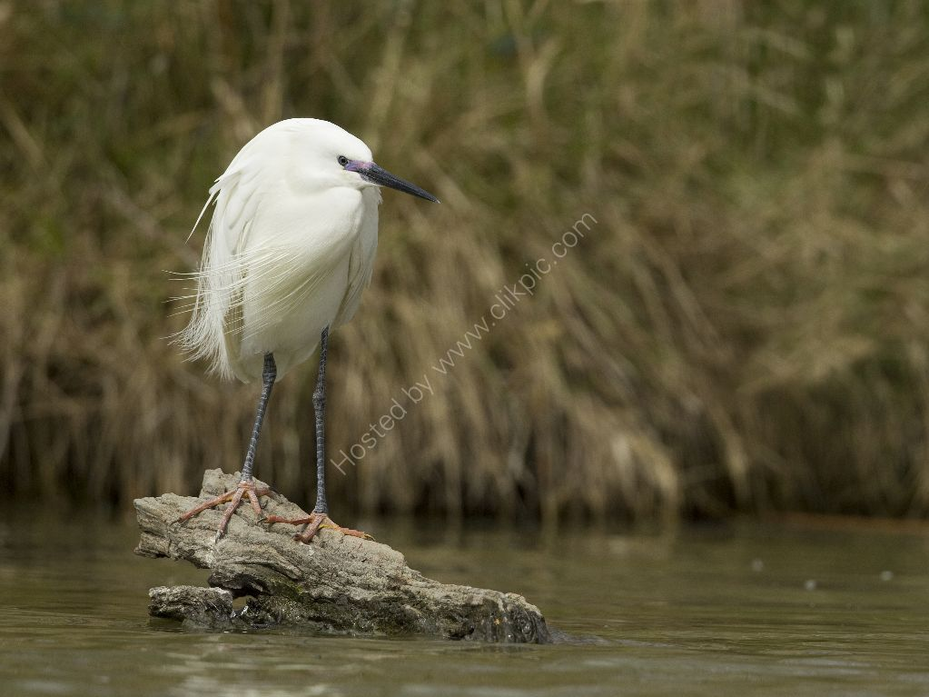 Little Egret in the Wind