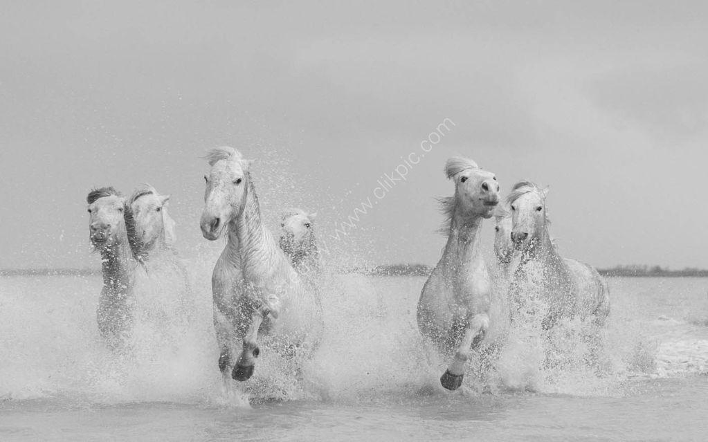 Camargue Horses 9