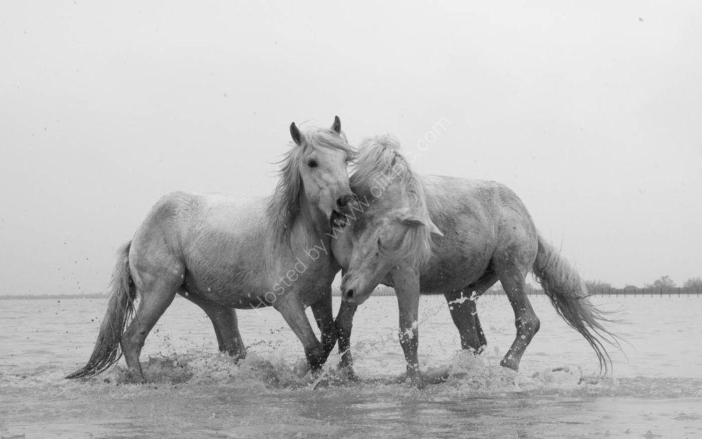 Camargue Horses 10