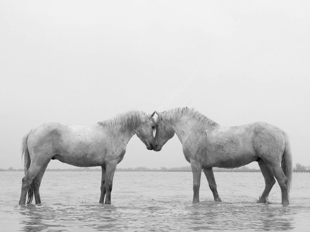 Camargue Horses 12