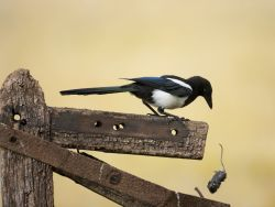 Magpie drops mouse