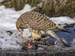 Kestrel Eats Rabbit