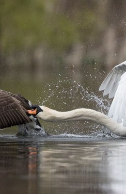 Mute Swan v Canada Goose