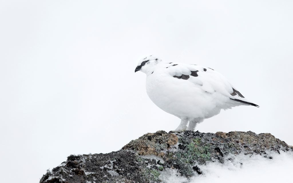 Ptarmigan on Rock