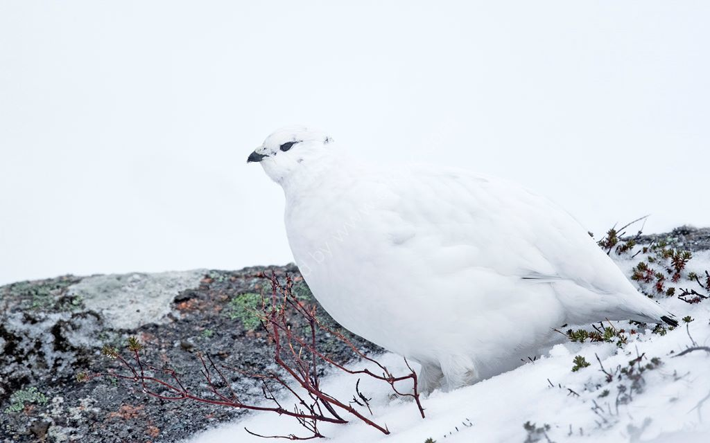 Ptarmigan and Red Heather