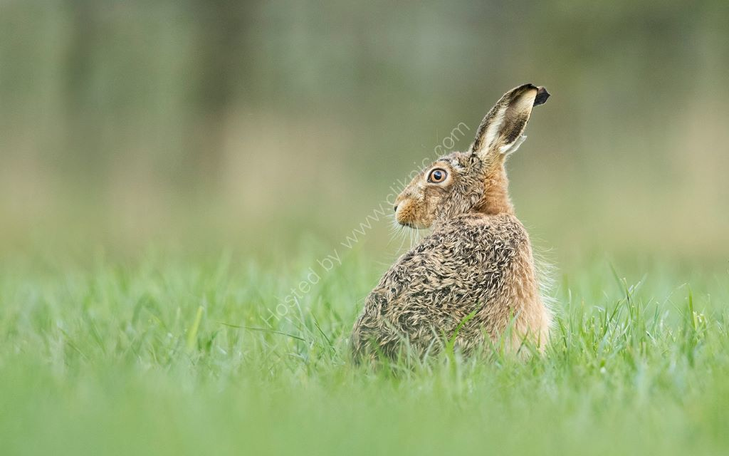Hare In Field